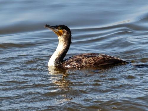rencontre avec des cormorans