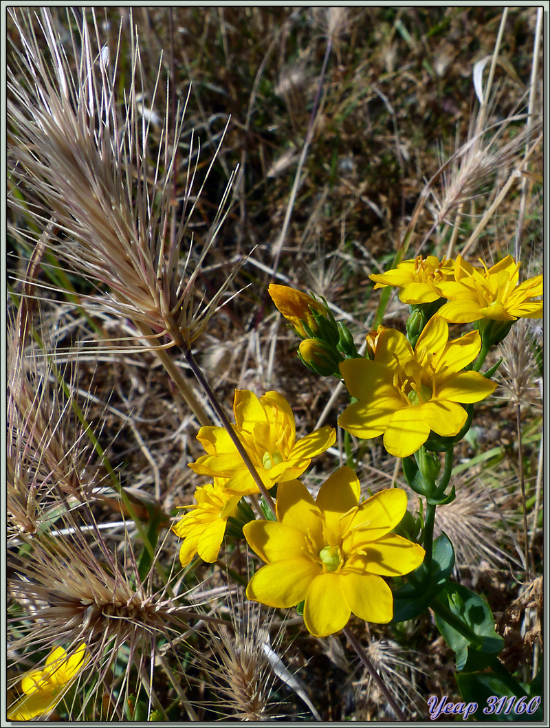 Chlorette, Blackstonie perfoliée, Centaurée jaune, Centaurée perfoliée, Chlore perfoliée, Petite gentiane jaune (