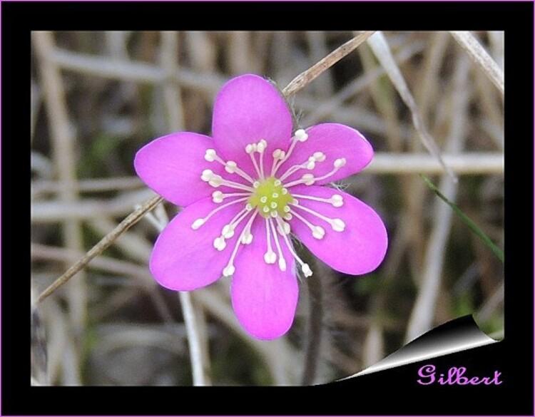 hepatique-noble-rose-2.jpg