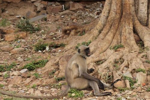 Les singes en Inde, entelles, langars, singes d'Hanuman