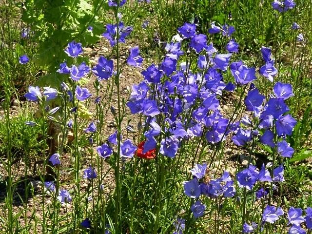 Metz fleurs d'été 3 mp1357 2011