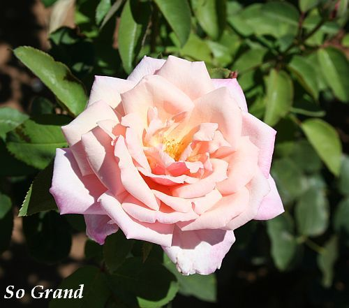 Les Roses de Warren : So Grand