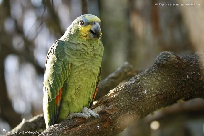 "Amazone à ailes orangées - Le ""Tamonster"" - Tamron Objectif SP 150-600 mm F/5-6,3 Di VC USD"