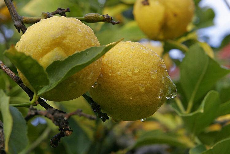 A propos du Citron ....