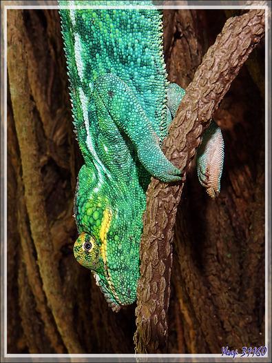Je retrouve, toujours dans le même arbre, le Caméléon panthère de la veille, Panther chameleon (Furcifer pardalis) - Nosy Sakatia - Madagascar