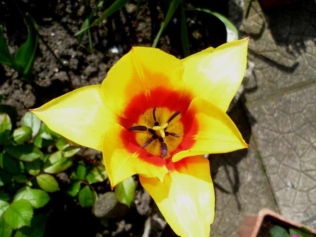 Coeurs de tulipes...