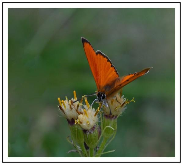 Papillons 019a -1