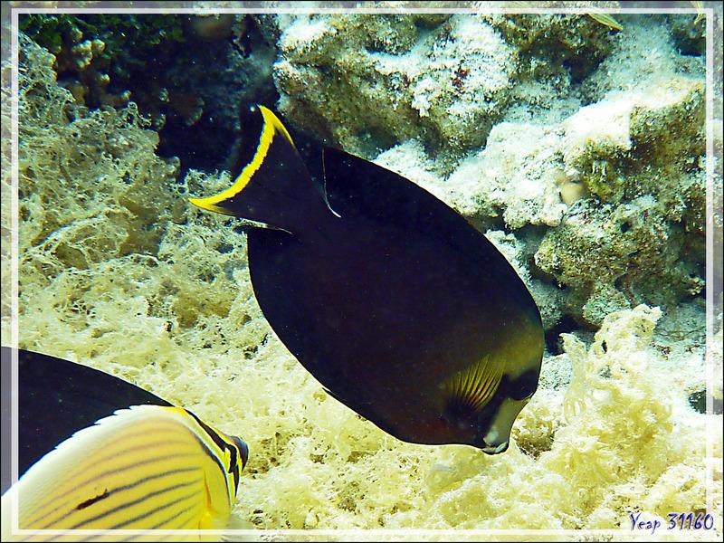 Poisson chirurgien chocolat, Chocolate surgeonfish (Acanthurus pyroferus) - Jardin de Corail - Motu Tautau - Taha'a - Polynésie française