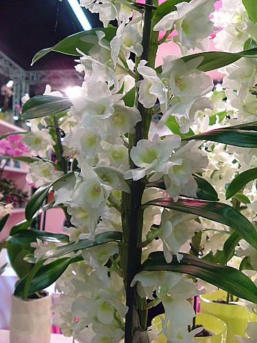 Orchidées 003