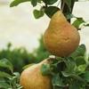 arbres-fruitiers-greffe