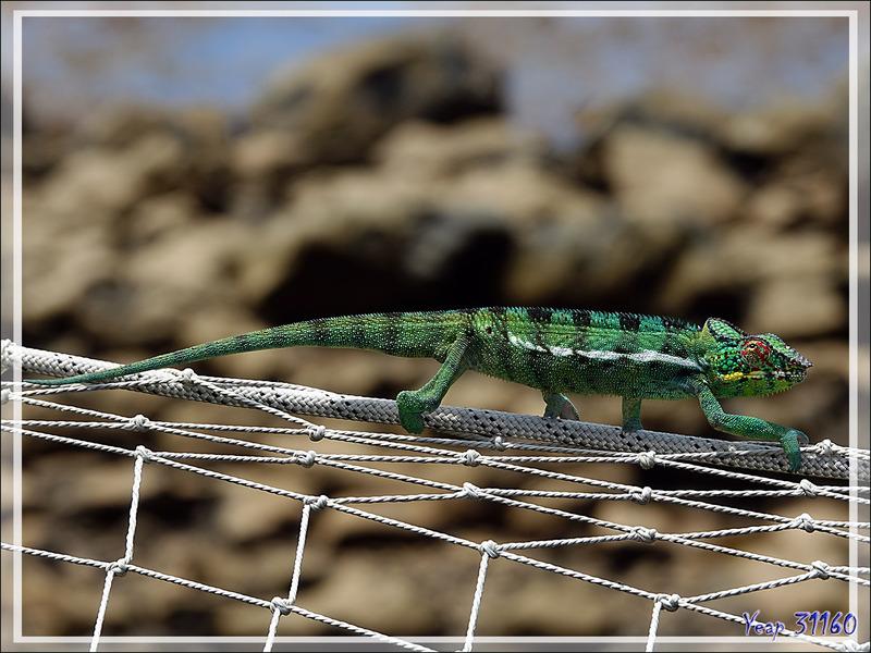 Encore attention : autre sorte de traversée de caméléon ! - Nosy Be - Madagascar
