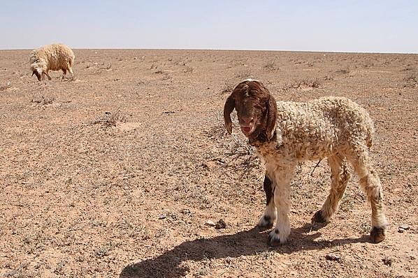 800px-Awassi lamb