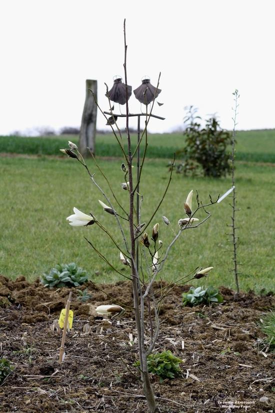 Magnolia 'Wadas Memory' 5