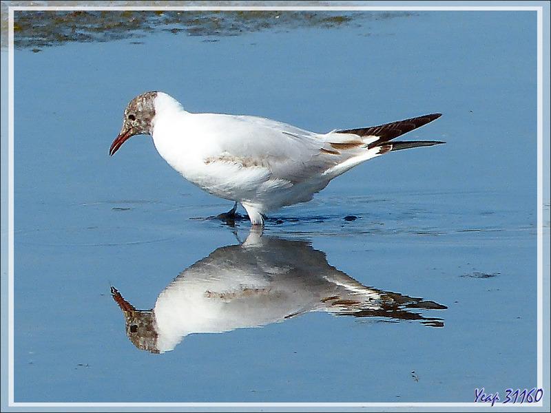 Mouette rieuse, Black-headed Gull (Chroicocephalus ridibundus) - Ars-en-Ré - Île de Ré - 17