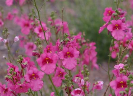 Plante vivace 005 jardinnature - Petites fleurs roses vivaces ...