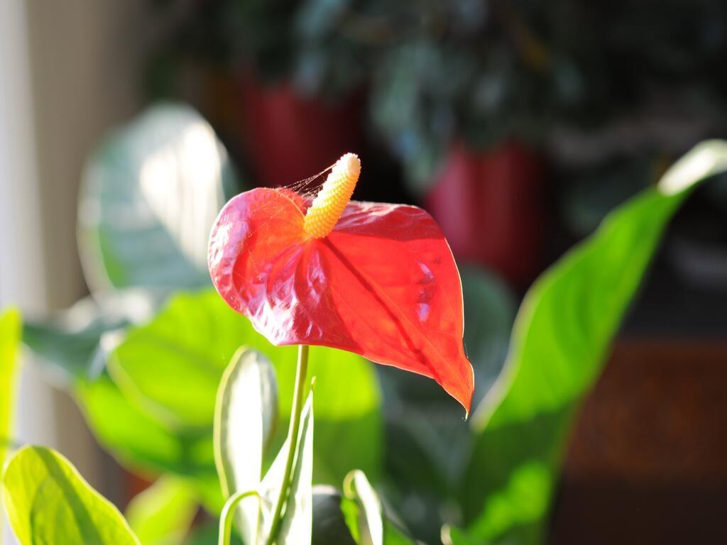 Les plantes à fleurs de la maison et les orchidées (2)...fin