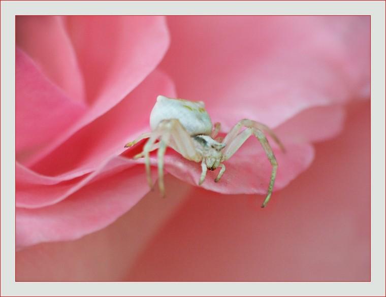 Araignee-thomise-blanche-sur-rose-rose.jpg