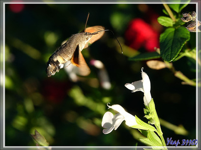 Papillon Moro sphinx, Sphinx colibri, Sphinx du caille-lait (Macroglossum stellatarum) - Lartigau - Milhas - 31