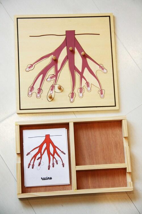 Observer les parties d'une plante: les racines du haricot