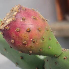 Opuntia Tomentosa - Le fruit mûrit - Février 2016