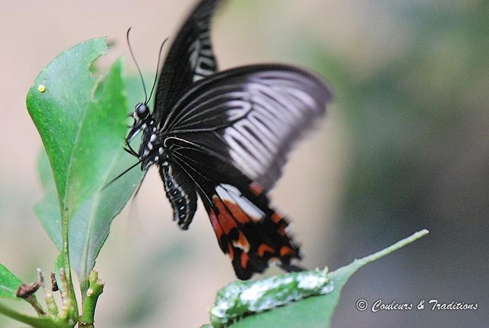 Papilio memnon femelle