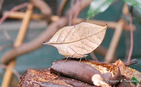 Kallima inachus - Papillon feuile