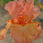 iris copper classic de promesses de fleurs