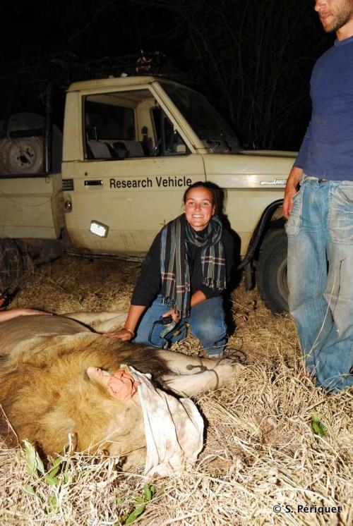 Lion capture