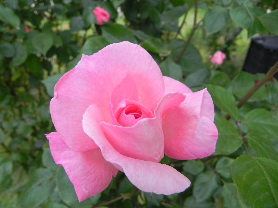 Ma rose du jour !
