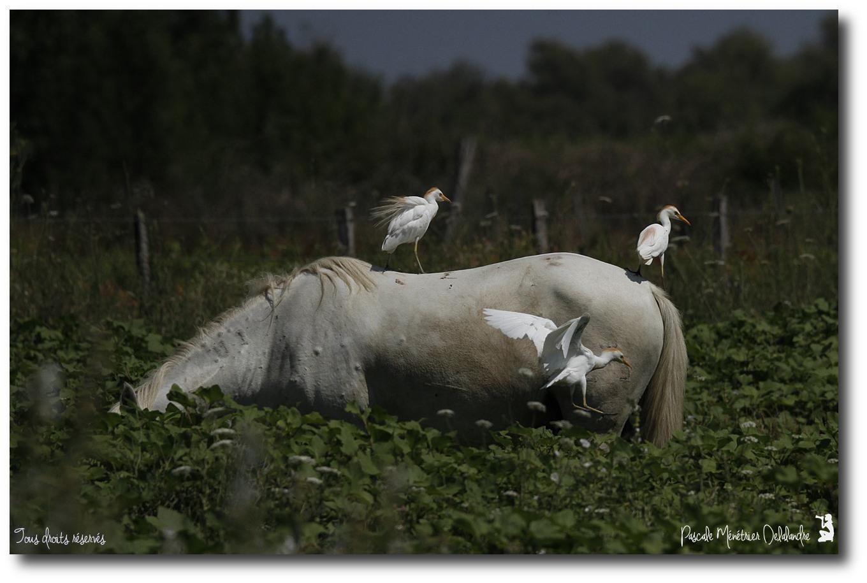 Cheval de Camargue et les Hérons Garde-boeufs