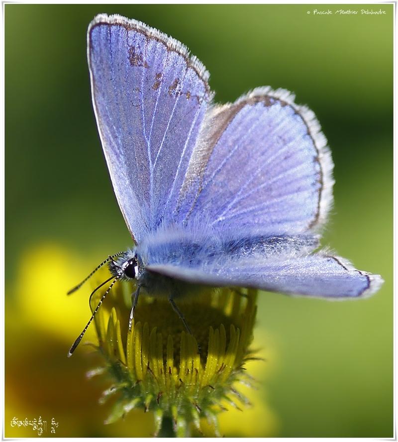 Azuré commun ( Polyommatus icarus) - Lycaenidae