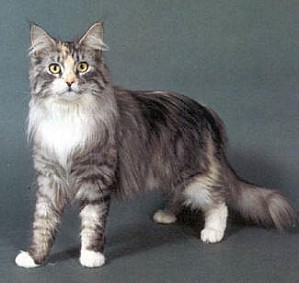 maine-coon11291546003