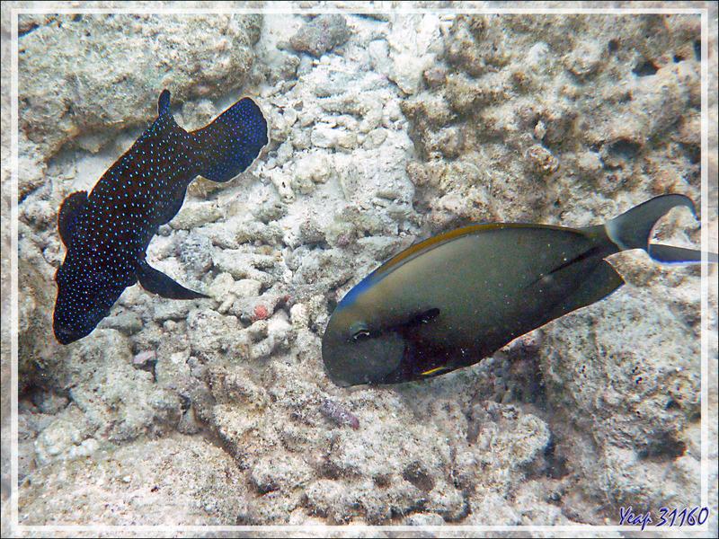 Chirurgien à marque noire, Shoulderbar surgeonfish (Acanthurus nigricauda) et Mérou céleste, Bluespotted grouper (Cephalopholis argus) - Moofushi - Atoll d'Ari - Maldives