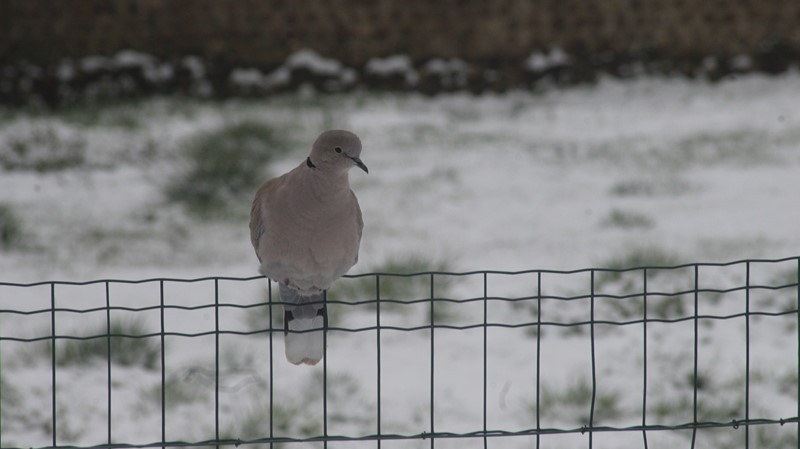 La tourterelle sous la neige