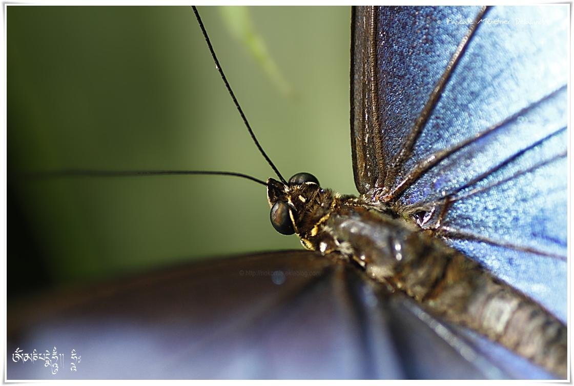 Morpho peleides - Morphidae - Costa Rica