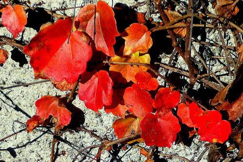 La vigne vierge en automne