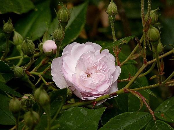 Rose-rose et boutons de rose