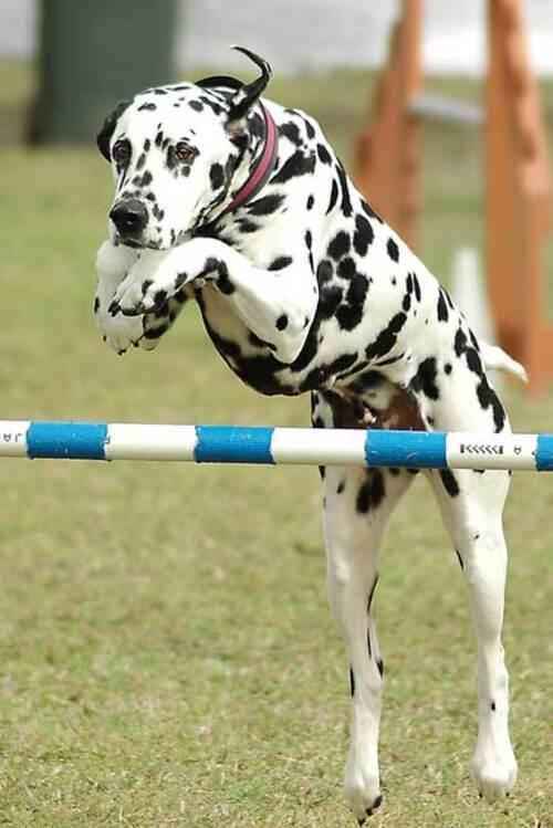 Races de chiens:  Dalmatien