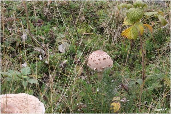 Champignons-3256-lepiote.jpg