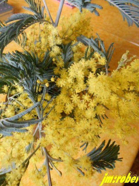 Le mimosa ,cet arbre méditerranéen, un soleil venu d'ailleurs