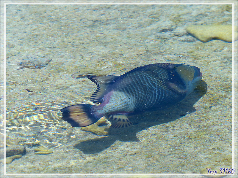Baliste à moustache ou à tête jaune ou titan, Giant trigger-fish or Titan trigger-fish (Balistoides viridescens) - Motu Aito - Fakarava sud - Tuamotu - Polynésie française