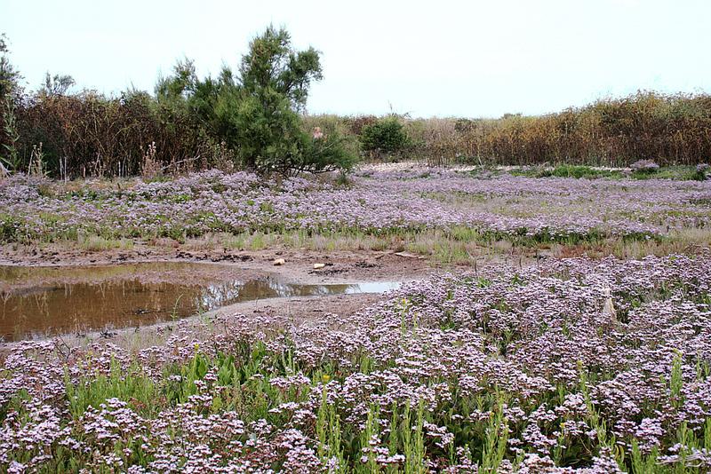 Lavande de mer (Limonium vulgare) - La Couarde - Ile de Ré - 17