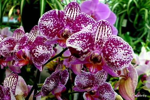Les belles fleurs : les orchidées