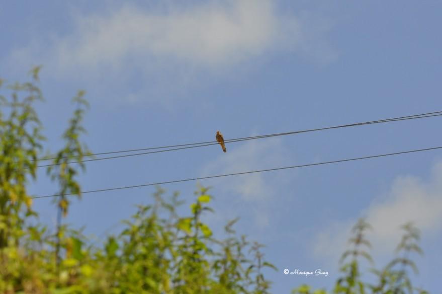 faucon-crecerelle-0277.jpg