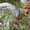 Papillon Petite tortue (Aglais urticae) qui m\'accompagnera