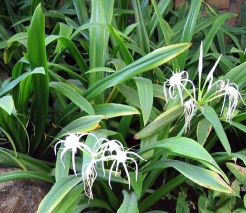 Fleurs cultivées : Ismène
