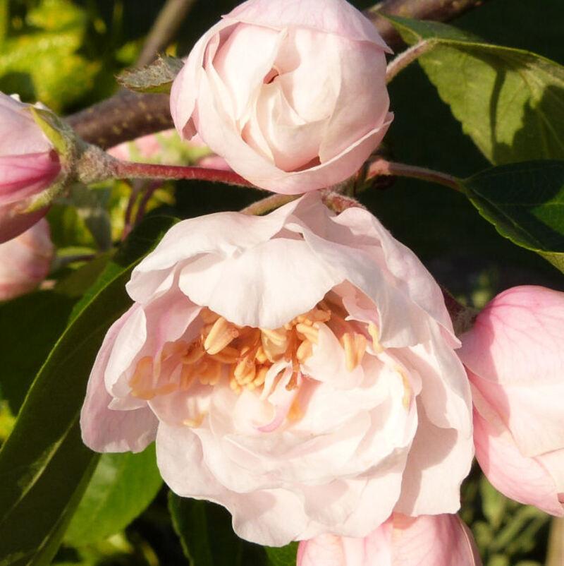 Les fleurs des 12 mois de l'année...malus coronaria charlottae