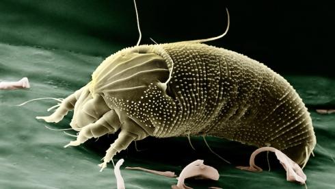 Archegozetes longisetosus au microscope