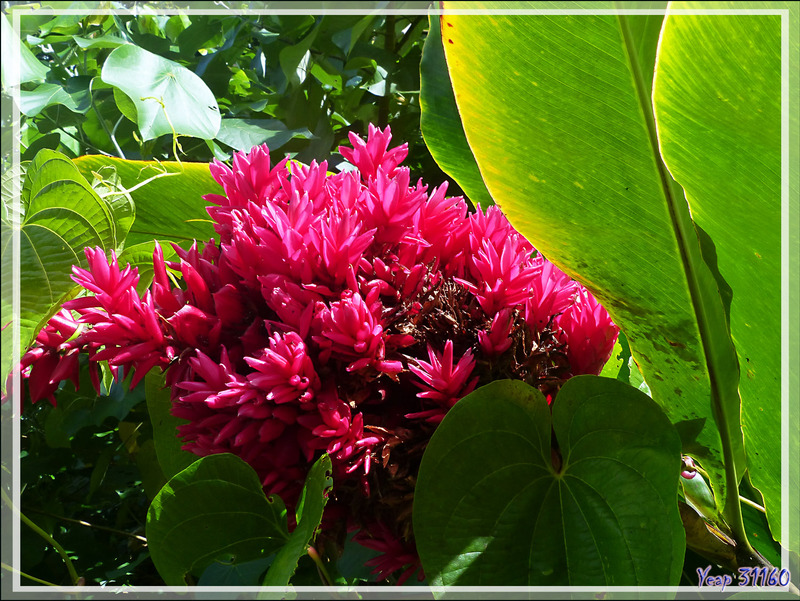 "Alpinia purpurata ""Tahitien Double"" - Raiatea - Polynésie française"