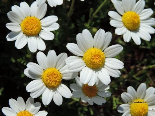 Galerie - Gruissan en fleurs